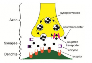 What is neurotransmitter reuptake and why is it important natural neurotransmitter reuptake diagram ccuart Gallery